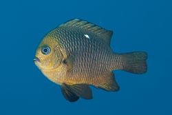 BD-150228-Ras-Mohammed-7362-Dascyllus-trimaculatus-(Rüppell.-1829)-[Threespot-dascyllus.-Treprickig-frökenfisk].jpg